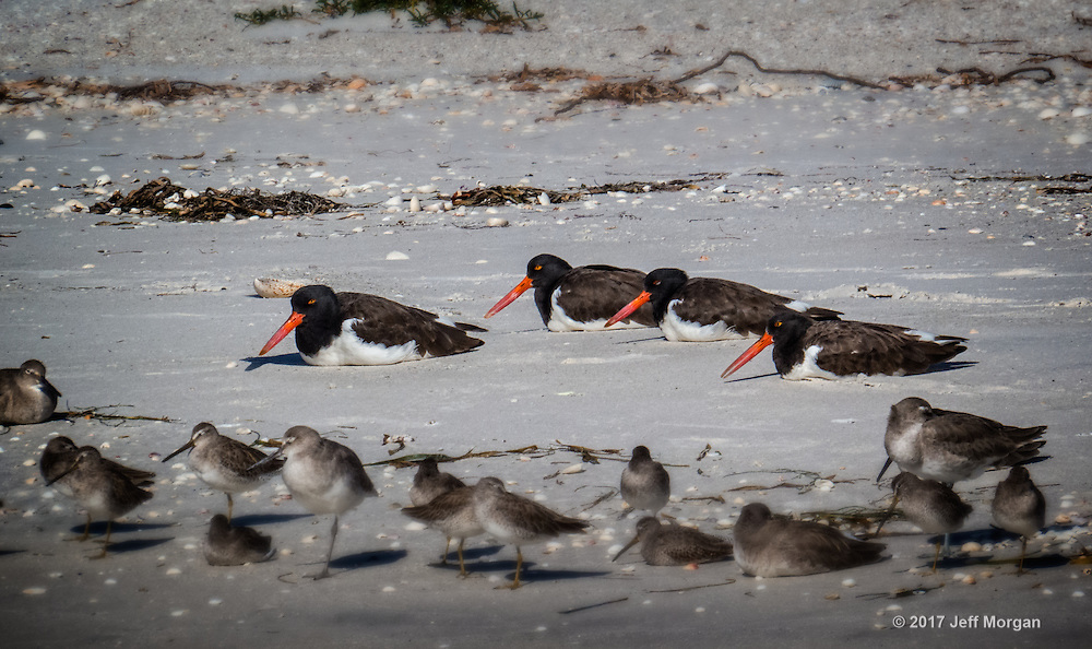 American Oystercatchers resting on the beach on North Captiva Island.