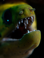 An eel shows his teeth. In the Philippines, muck divers head straight to Dauin to begin the hunt. It is considered one of the premier muck diving locations on the planet. On a bad day at Dauin, you can spot more rare animals than a decade out on the reef...