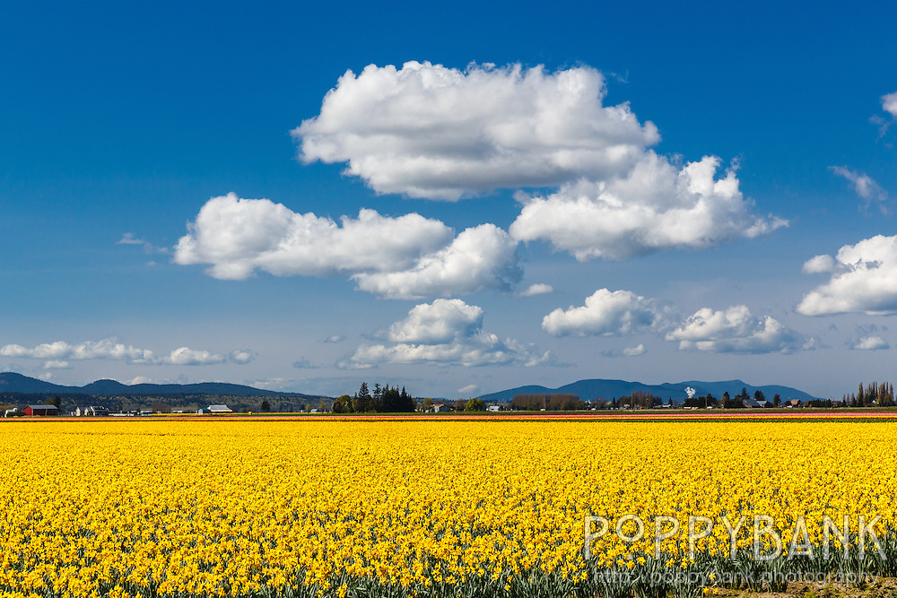 The Skagit Valley Tulip Festival brings over 1 million visitors to the region each year to enjoy acres of blossoming tulip and daffodil fields spread across the valley.