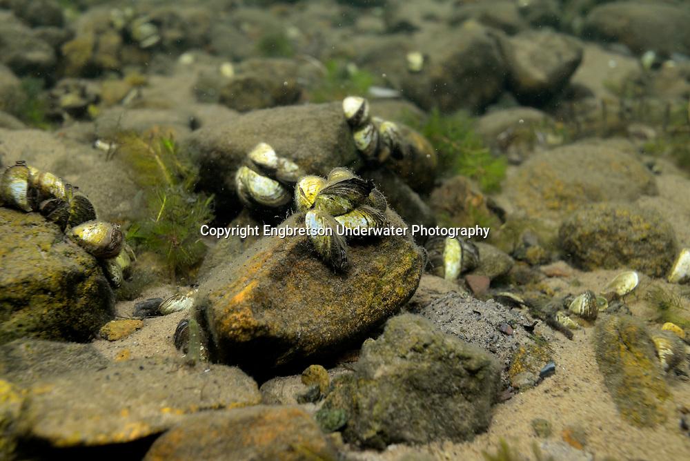 Zebra Mussel<br /> <br /> Engbretson Underwater Photography