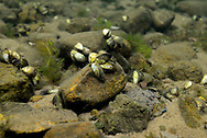 Zebra Mussel<br />