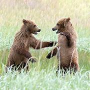 GrizzlyBears_Alaska_2017