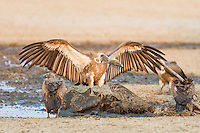 White-backed Vulture dominating a gemsbok carcass, Kgalagadi Tranfrontier Park, Northern Cape, South Africa