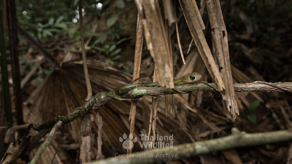 Keeled Rat Snake (Ptyas carinata) juvenile in situ in Kaeng Krachan national park, Thailand
