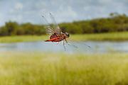 A red-mantled saddlebags dragonfly (Tramea onusta) in flight. University of Texas, Brackenridge field lab, Austin, Texas.