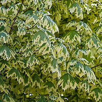 Variegated Harlequin Maple (Acer platanoides 'Drummondii')