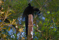 Black Sicklebill Bird of Paradise (Epimachus fastuosus) male at his display perch.