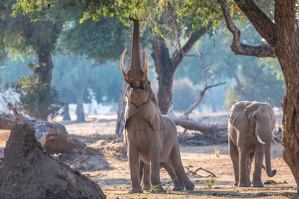 Elephants of Mana Pools making a reach for tender growth in the canopy.