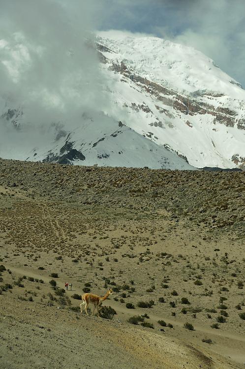 Vicunas at Chimborazo Volcano, Andes Mountains, Ecuador
