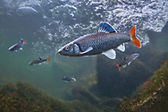 Alabama Shiner<br />