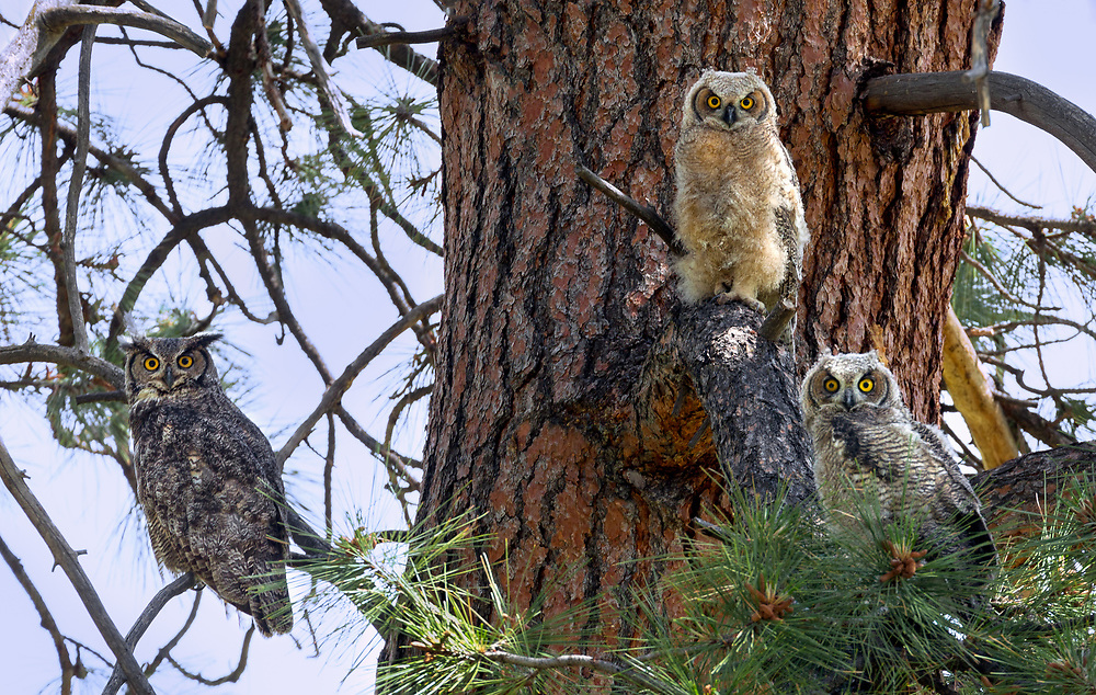 A great horned owl perches in a Ponderosa Pine tree with her two owlets, in central Oregon.