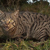 Scottish wildcat hybrid, Scotland