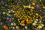 Namaqualand daisies in flower, Namaqualand, South Africa