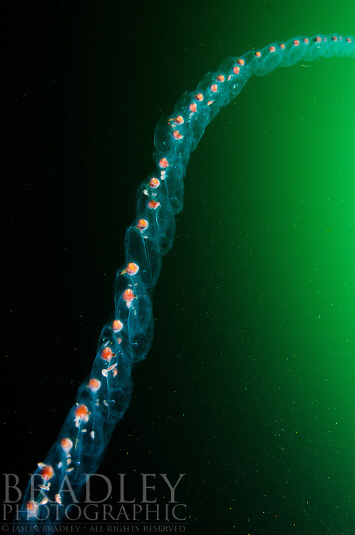 A pelagic tunicate, or salp, floats in the emerald green mid-water