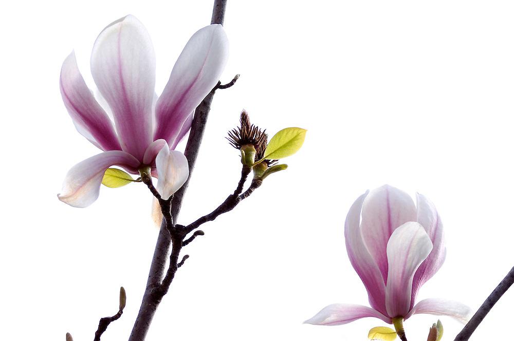 France, Languedoc Rousillon, Gard, Cévennes, Alès, jardin: Les Camellias de la Prairie, fleurs de magnolia soulangiana
