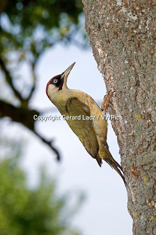 GREEN WOODPECKER picus viridis, ADULT LOOKING FOR FOOD IN BARK, NORMANDY