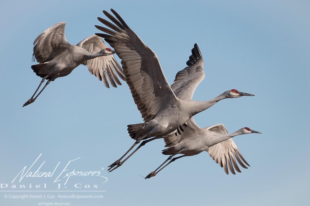 Sandhill cranes (Grus canadensis). Bosque del Apache National Wildlife Refuge, New Mexico