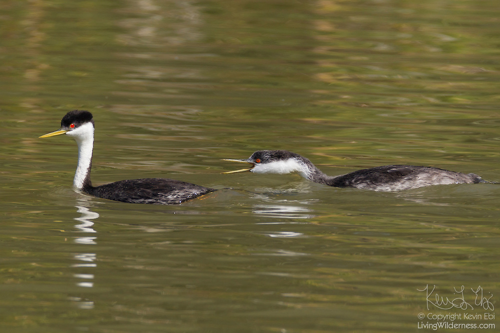 A young Western Grebe (Aechmophorus occidentalis) chases after an adult Western Grebe on Fern Ridge Lake near Eugene, Oregon.
