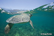 Australian flatback sea turtle, Natator depressus, endemic to Australia and southern New Guinea, raises head above surface to breathe, Australia