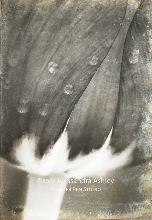 Giant tulip on a rainy day, composited with antique distressed metal texture, in high contrast black and white with warm color toning.