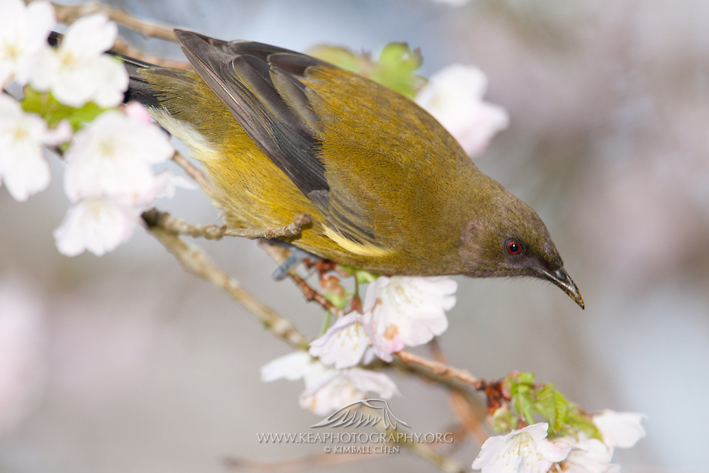 Bellbird, in blossom tree, New Zealand