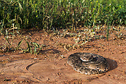 Puff Adder (Bitis arietans)<br /> Marakele Private Reserve, Waterberg Biosphere Reserve<br /> Limpopo Province<br /> SOUTH AFRICA<br /> HABITAT &amp; RANGE: Absent only from desert &amp; mountain tops throughout Africa