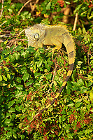Green Iguana (Iguana iguana) in tree, Arthur C Marshall Wildlife Reserve, Loxahatchee, Florida. (The Green Iguana is an introduced species now breeding in wild)   Photo: Peter Llewellyn