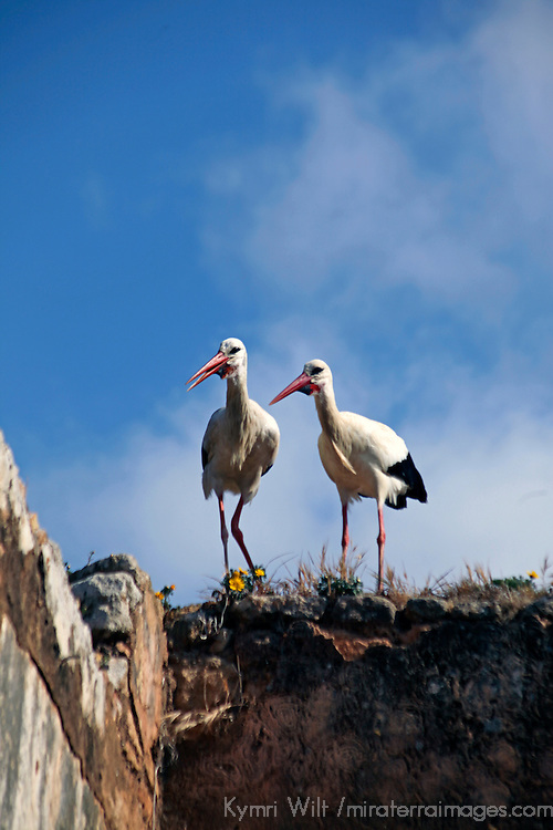 Africa, Morocco, Rabat. Nesting storks at the ruins of Chellah in Rabat.