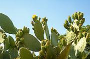 Cactus - opuntia Tzabar Israeli symbol