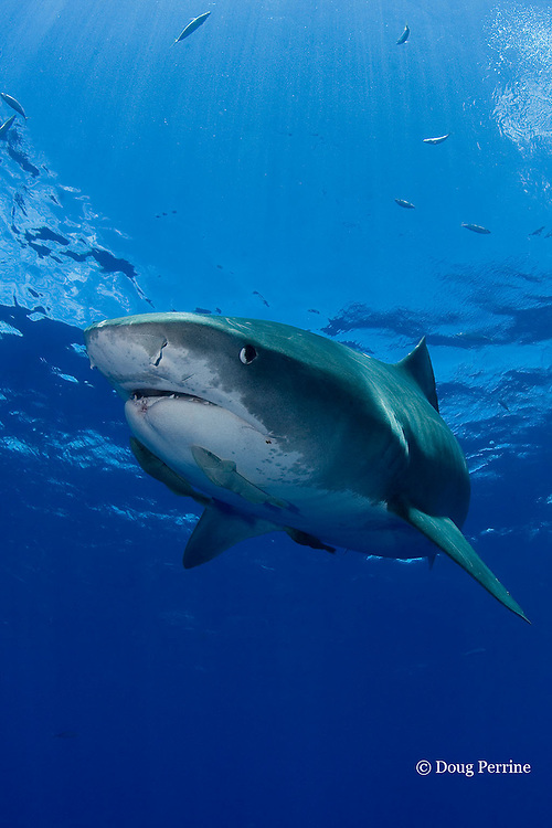 tiger shark, Galeocerdo cuvier, with remoras or sharksuckers, lower jaw slightly deformed, possibly due to encounter with fishing gear, North Shore, Oahu, Hawaii, USA ( Central Pacific Ocean )