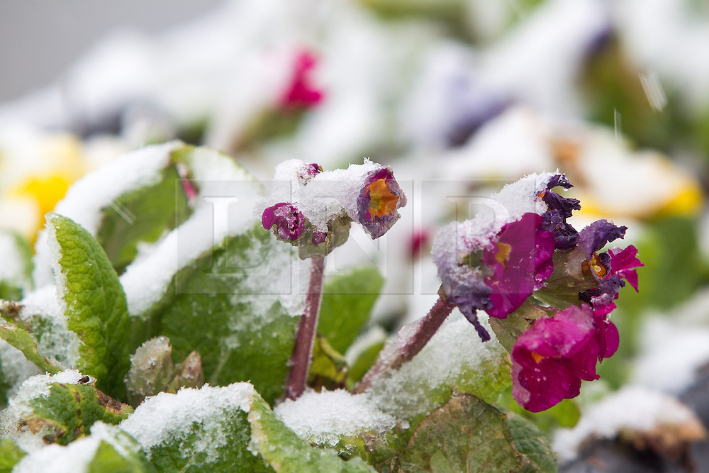 © Licensed to London News Pictures . 05/02/2013 . Manchester , UK . Colourful flowers poke through the snow in Manchester . Heavy snow is causing traffic delays and accidents on the roads in and around Manchester . Photo credit : Joel Goodman/LNP