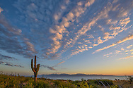 Mexico, Baja California sur, Baja, La Ventana, Sea of Cortez, Pachycereus pringlei, cardon cactus at sunrise