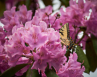 Tiger Swallowtail Butterfly feeding on Rhododendron flowers. Image taken with a Nikon Df camera and 70-300 mm lens (ISO 220, 300 mm, f/5.6, 1/1250 sec).