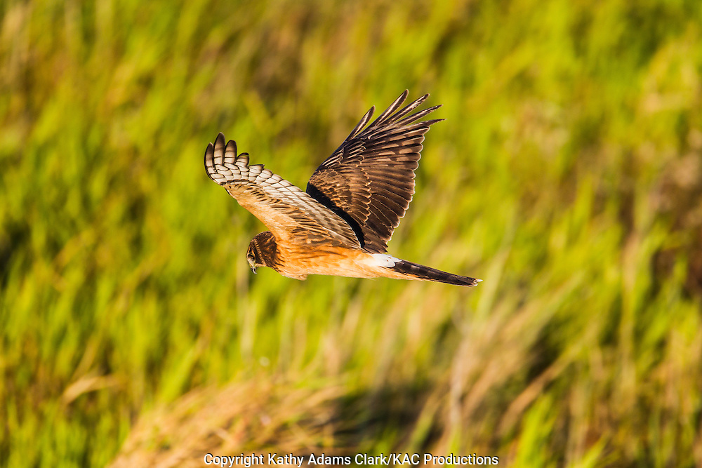 Northern harrier, Circus cyaneus, female, in flight on the Katy Prairie, in west Harris County, Texas.