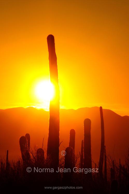 Saguaro cactus, (Carnegiea gigantea), along Bajada Loop Drive in Saguaro National Park in the Sonoran Desert, Tucson, Arizona, USA.