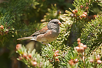 Dark Eyed Junco in a pine tree in the Rocky Mountains western United States.