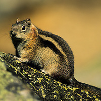 Chipmunk sitting on lichen-covered granite boulder in Rocky Mountain National Park, Colorado