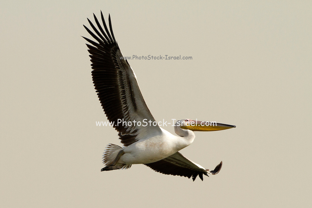 Great White Pelican (Pelecanus onocrotalus) in flight, hulla valley, Israel