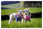 NEWBORN BORDERS LAMBS MODEL SPECIAL CASHMERE PULLOVERS AT THE LAUNCH OF VISITSCOTLAND BORDERS' SPRING MARKETING CAMPAIGN. THE £40,000 CAMPAIGN AIMS TO HIGHLIGHT THE REGION'S RURAL BEAUTY AND ATTRACTIONS, WHICH INCLUDE A LUXURY CASHMERE TRAIL TOUR OF TEXTILE PRODUCERS IN THE BORDERS.