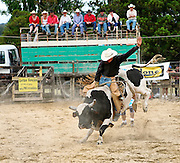 a bucking bull is captured in motion, kicking up sand, whilst onlookers spectate from the top of a cattle truck at the Mid Northern Rodeo, Whangarei, New Zealand