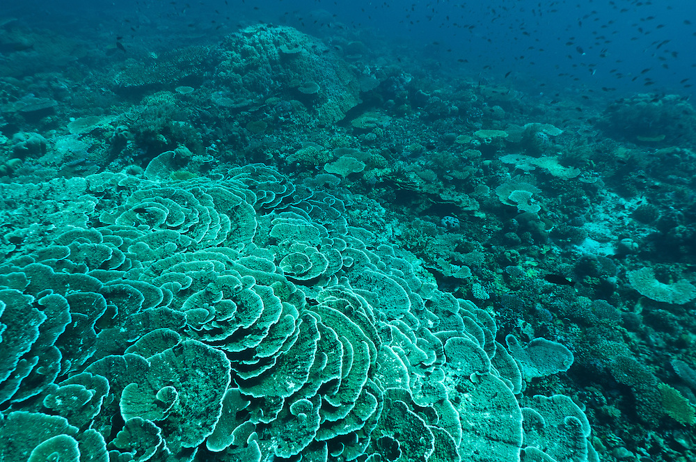 Healthy coral reef with many hard coral colonies, Cendrewasih Bay, West Papua, Indonesia.
