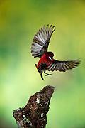 Crimson-backed Tanager (Ramphocelus d. dimidiatus), Panama, Central America