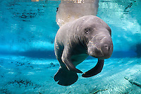 Florida manatee, Trichechus manatus latirostris, a subspecies of the West Indian manatee, endangered. Series of a mature adult male manatee with scars resting and warming himself over a large springhead. An adult male manatee floats with flippers together in perfect buoyancy over a large spring. His head, snout and whiskers are prominent. Tranquil warm blue freshwater and rainbow sun rays enhance the peaceful scene  Horizontal orientation with blue water , reflection and rainbow sun rays. Three Sisters Springs, Crystal River National Wildlife Refuge, Kings Bay, Crystal River, Citrus County, Florida USA.
