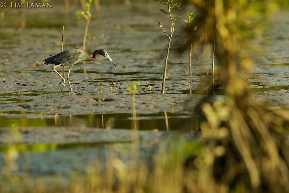 A Little Blue Heron (Egretta caerulea) in the mudflats and mangrove trees of the Orinoco River Delta.
