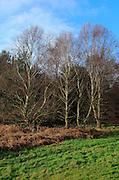 Silver birch trees in winter, Sandlings heathland, Sutton Heath Suffolk, England, UK