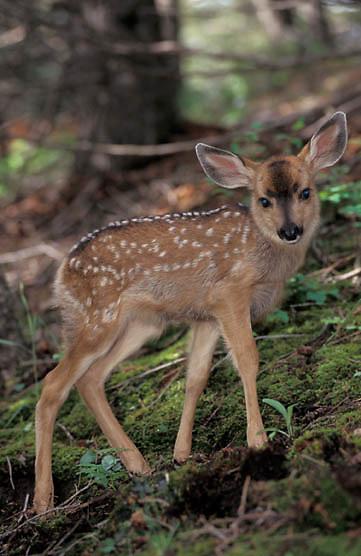 Mule Deer, (Odocoileus hemionus) Spotted fawn. Montana