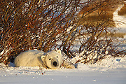 The late afternoon sun lights up this polar bear (Ursus maritimus) in her nest in the willows.