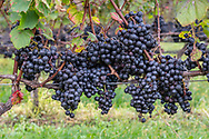 Grapes on the Vine, Macari Vineyard, Mattituck, New York,  Long Island, North Fork