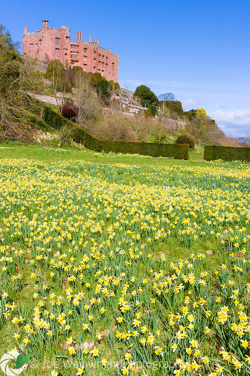 Daffodils cover a lawn beneath the terraces of Powis Castle, Welshpool.