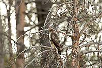 A Red Tailed Hawk sits on a branch of a dead pine tree along the Yellowstone River in Yellowstone National Park.